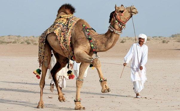 Bikaner Camel Festival2