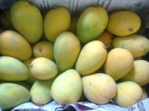 West Bengal Mango